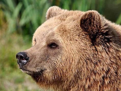 Километра полтора от избушки отошли, как вывалился на них здоровенный медведь и давай гонять операторов. Фото: Fotolia.com