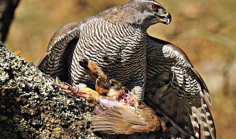 26 яиц может быть в одной кладке самки серой куропатки (молодые откладывают меньше).