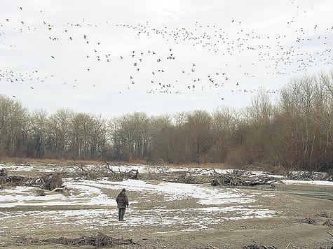 Кряквы на реке Череке (Кабардино-Балкария). Фото автора.