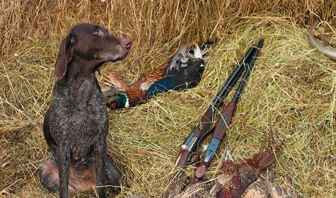 Хорошо поставленная собака найдет иподаст всех добытых фазанов, включая подранков.