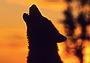 В Якутии побеждают волки
