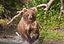 За первым медведем в Карелию