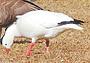 Тайна белого гуся
