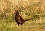 В Чечню за фазаном: как приумножить и сохранить
