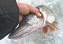 Рыбалка по перволедью - всегда праздник