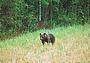 Необычное поведение медведя на овсах