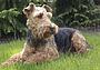 Выбор норной собаки: плюсы и минусы