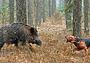 Кабаны: случай в лесу