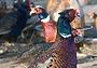 Готовим фазана с минералкой