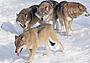 Белый туман: охота на волков