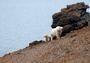 Остров Врангеля— жемчужина Арктики
