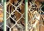 Тигры илюди: по следам одного фильма