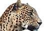 Вернется ли леопард на Кавказ?