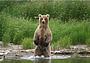 О следах бурого медведя