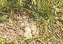 Самка вальдшнепа: поведение на гнезде