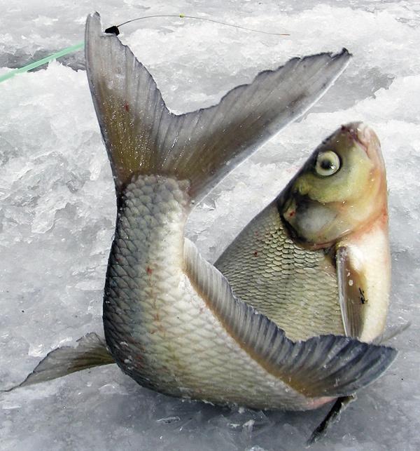 ледяная рыба почему не ловят