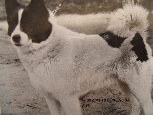 Лайки русско-европейские. От А до...(Из истории РЕЛ ...: http://www.ohotniki.ru/dog/breeds/laiki/article/2013/06/17/638834-layki-russkoevropeyskie-ot-a-doiz-istorii-rel-yaroslavlya.html