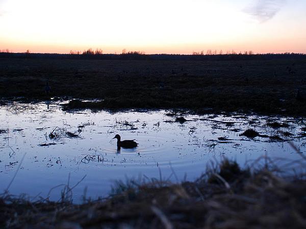 Охота с подсадной: опыт весенних охот