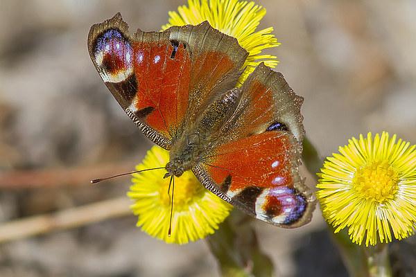 Дневные Бабочки. Нимфалиды и Парусники