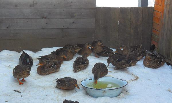 Чем кормить утят диких уток в домашних условиях
