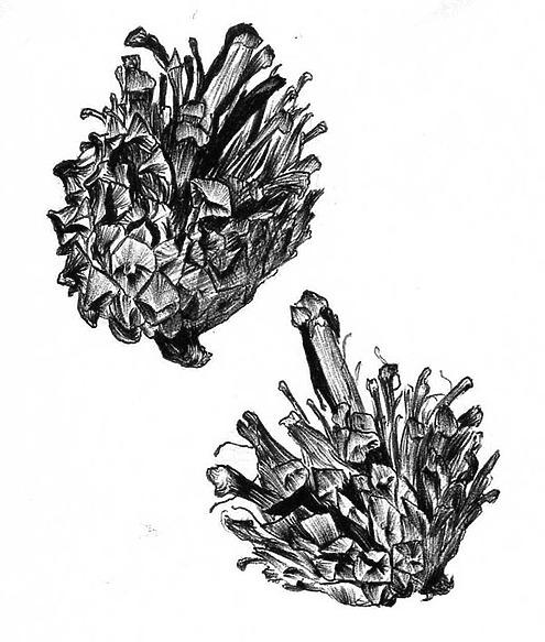 Сосновые шишки из «кузницы» пёстрого дятла. Март 1991 г. Рисунок А.Субботина