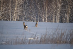 Сибирские косули зимой