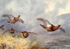 Шотландские куропатки глазами Арчибальда Торнбурна