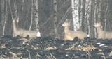 Лошаков Александр: Охота на сибирскую косулю