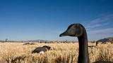 Как мы манили гусей на охоте