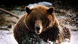Медведь атаковал охотника