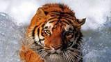 Индия. Тигр нападает на наездника на слоне