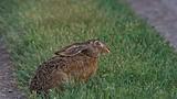 Заяц-русак летом
