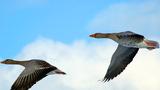 Учимся манить гусей